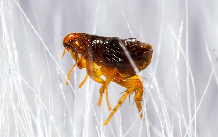 flea on white dog hair
