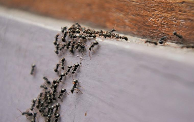 ants crawling in house