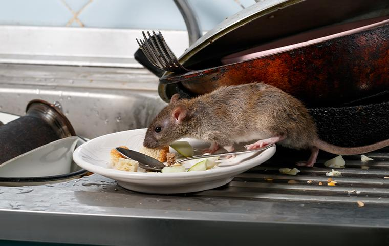 a rat on the dishes