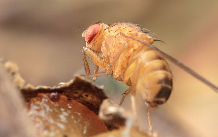 a fruit fly eating nasty food