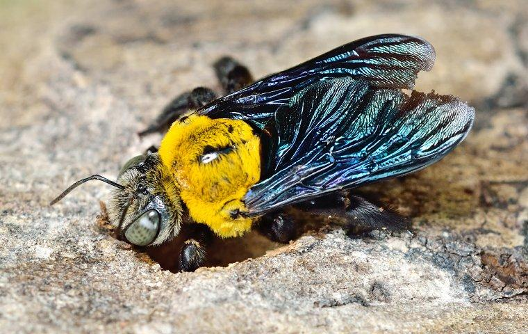 a carpenter bee burrowing a nest in wood