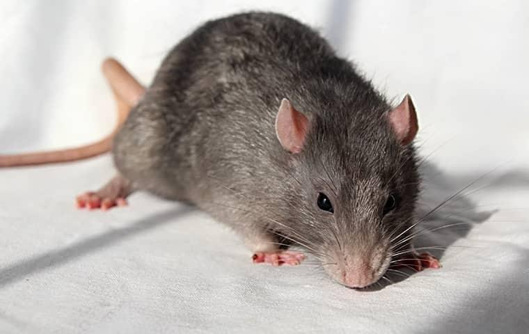 a norway rat on a  kitchen counter