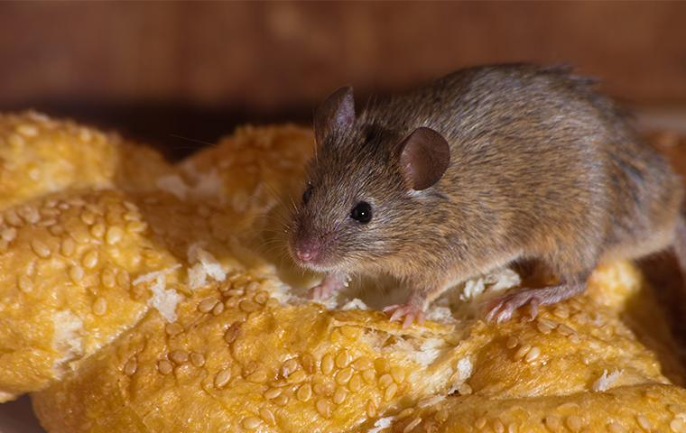rodent eating bread