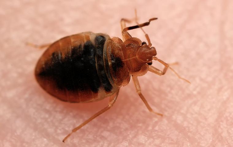 a  bedbug on human skin