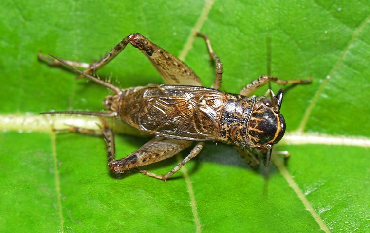 a cricket on a leaf
