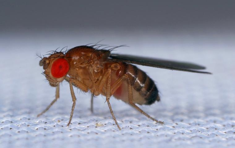 a fruit fly on fabric