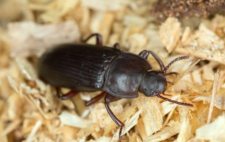 close up of a flour beetle