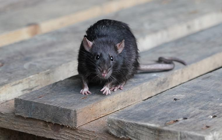 norway rat on a table