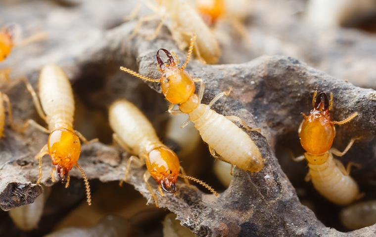 termites in wood