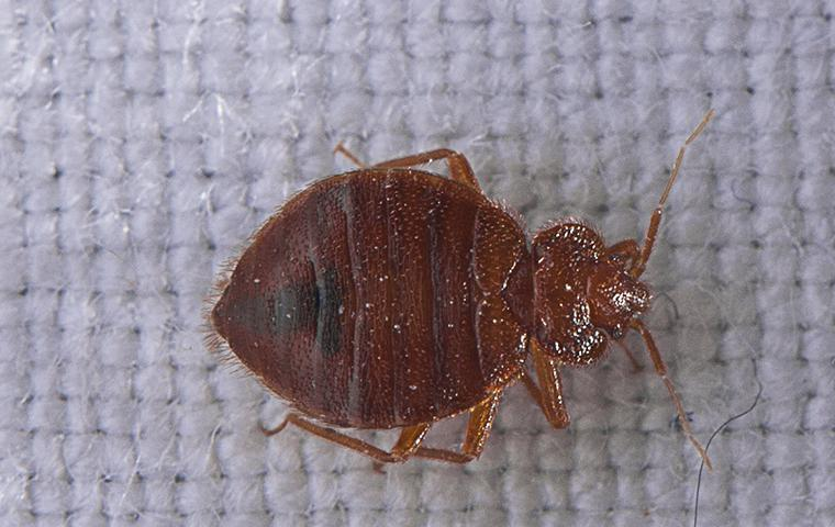 bedbug on a boxspring