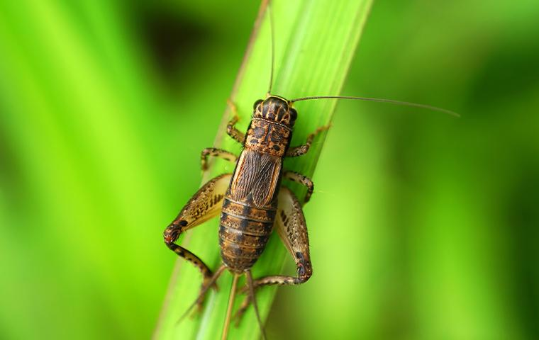 cricket on a blade of grass