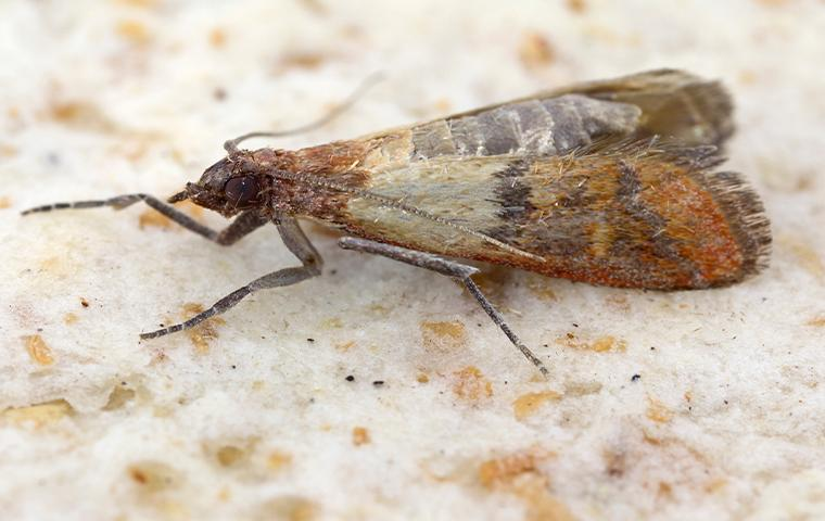 close up of indian meal moth