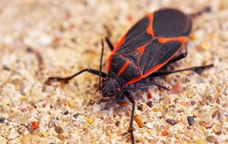 boxelder bug on ground