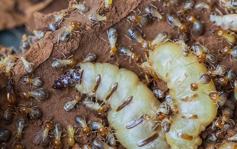 eastern subterranean termites damaging wood around home