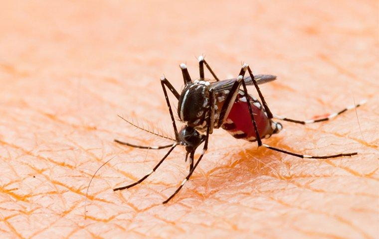a yellow fever mosquito biting a man