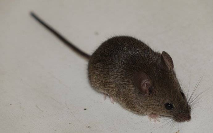 a house mouse inside a boise home