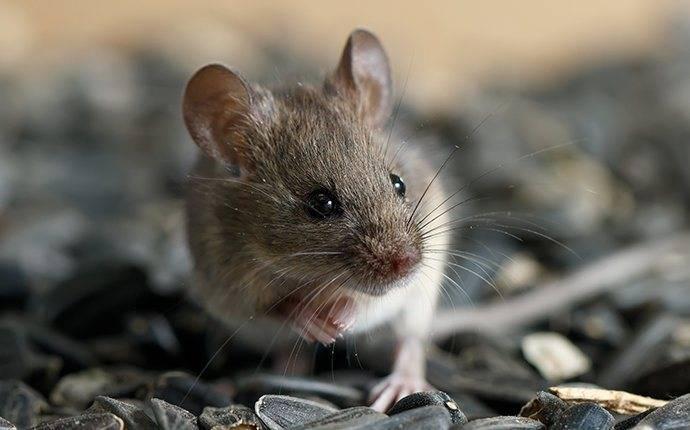 a mouse infesttaion on a jerome property