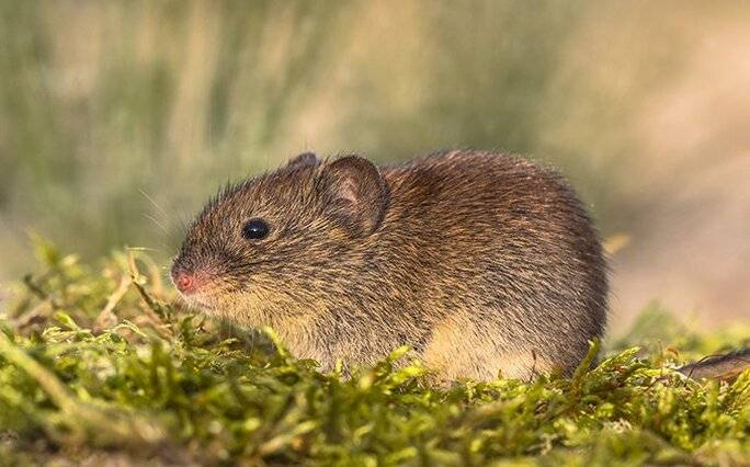 vole looking for food in the grass