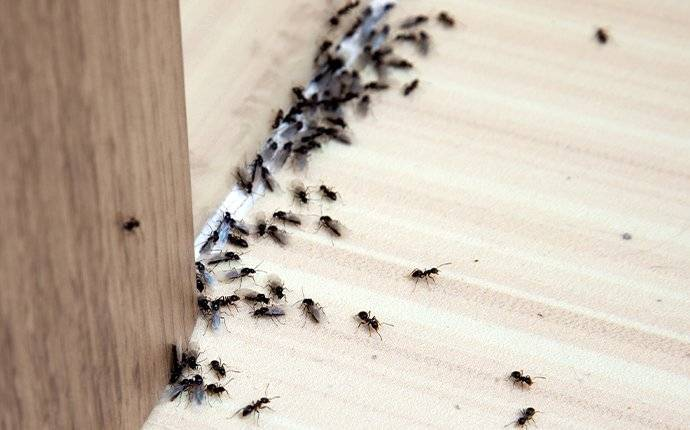 an ant infesttaion in a home