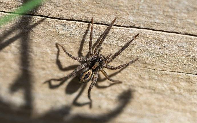 wolf spider on wall