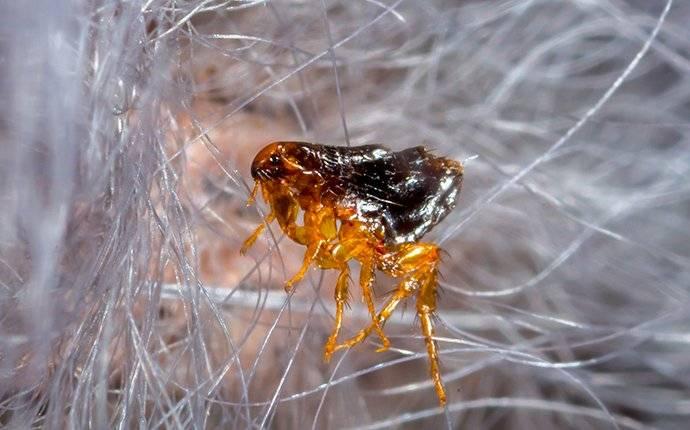 flea crawling on pet hair