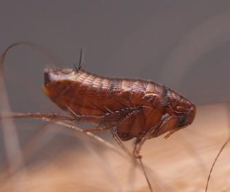 a flea on human skin in meridian idaho