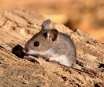 a mouse on wood in meridian idaho