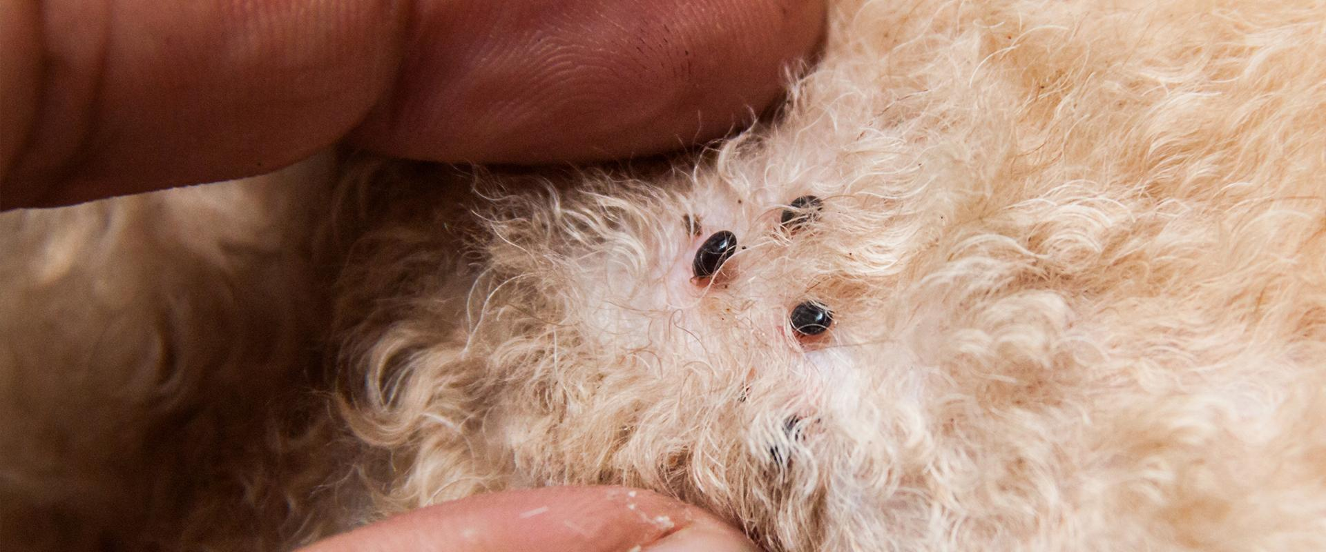 ticks in dog hair in meridian idaho