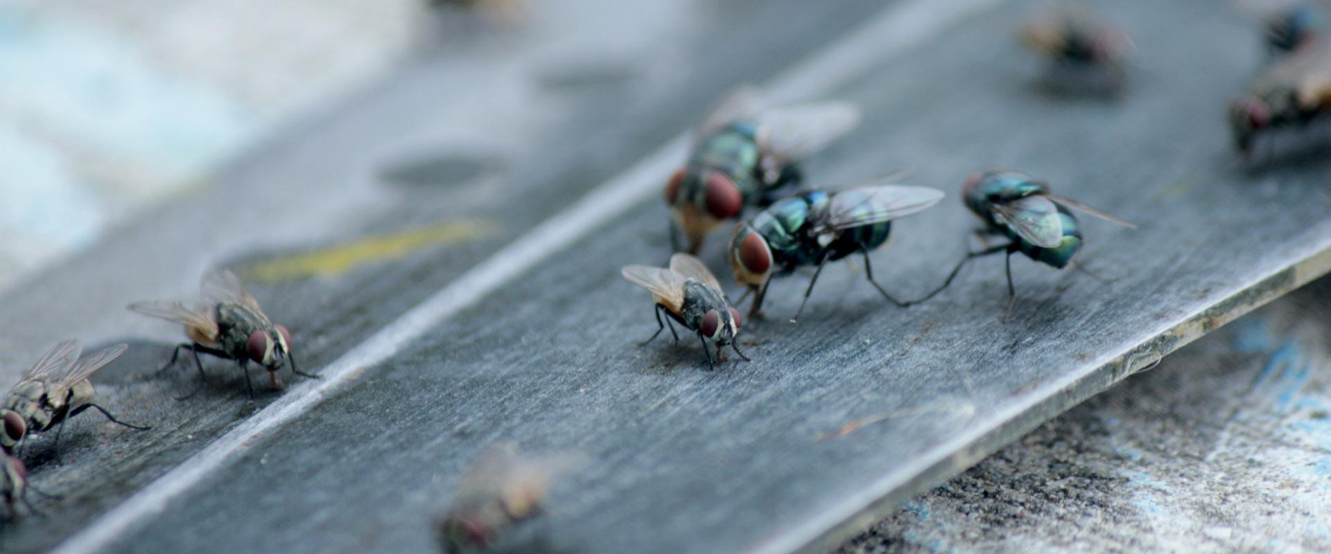 close up of house flies in meridian idaho