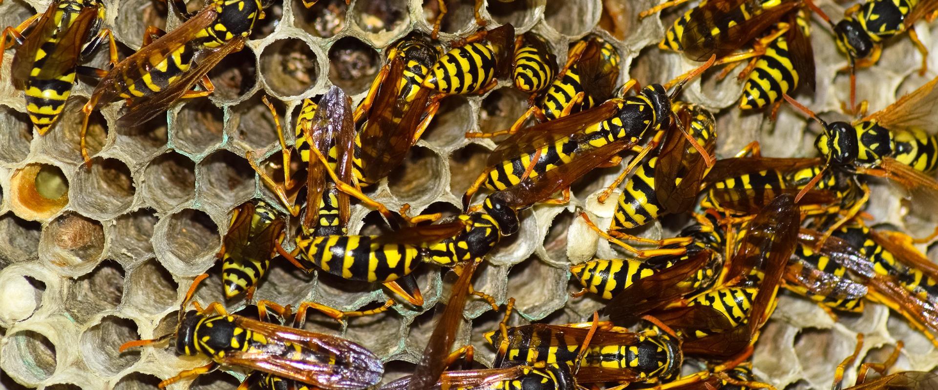 wasps in their nest in meridian idaho
