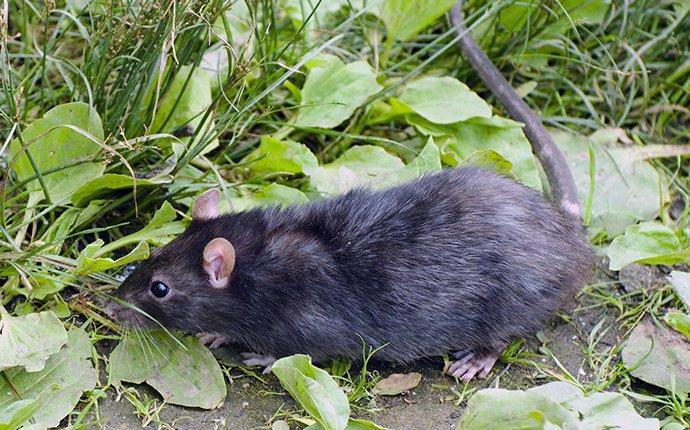 a rat outside in boise idaho
