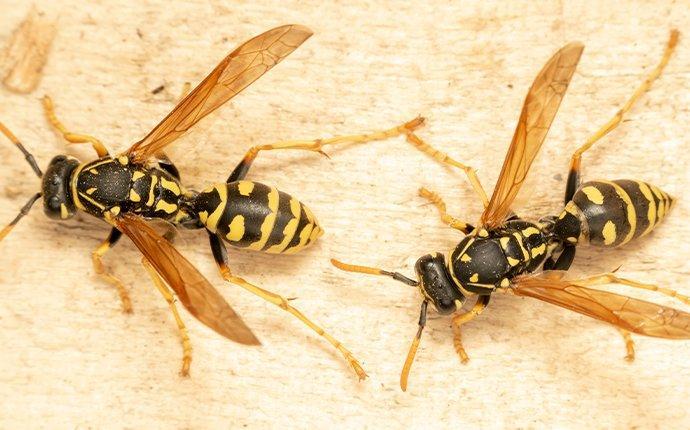 close up of wasps in caldwell idaho