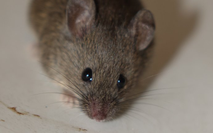 close up of a mouse in kuna idaho