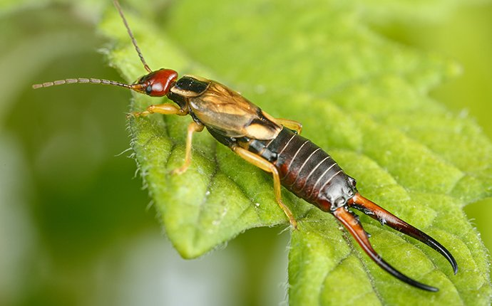 an earwig on a leaf in meridian idaho