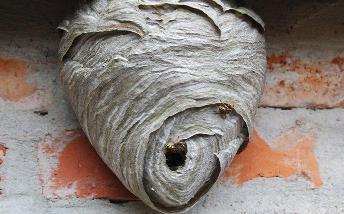 a hanging wasps nest in meridian idaho