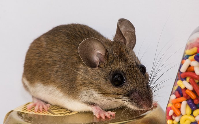 close up of a mouse in meridian idaho