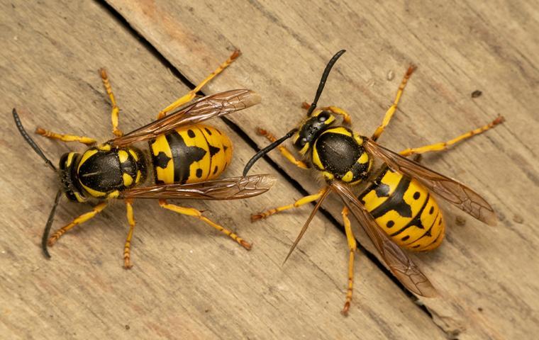 wasps on wood