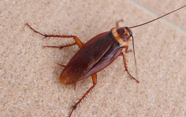 an american cockroach crawling on a floor