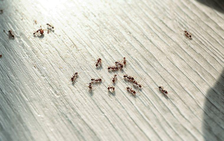 ants crawling on wooden floor