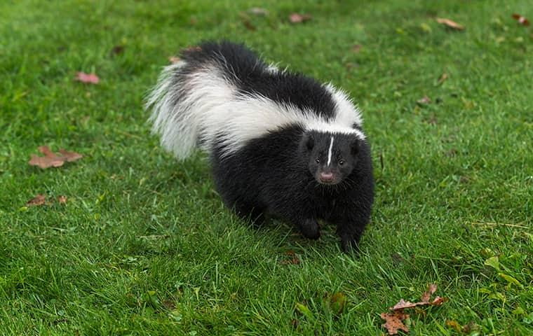 a skunk in a back yard