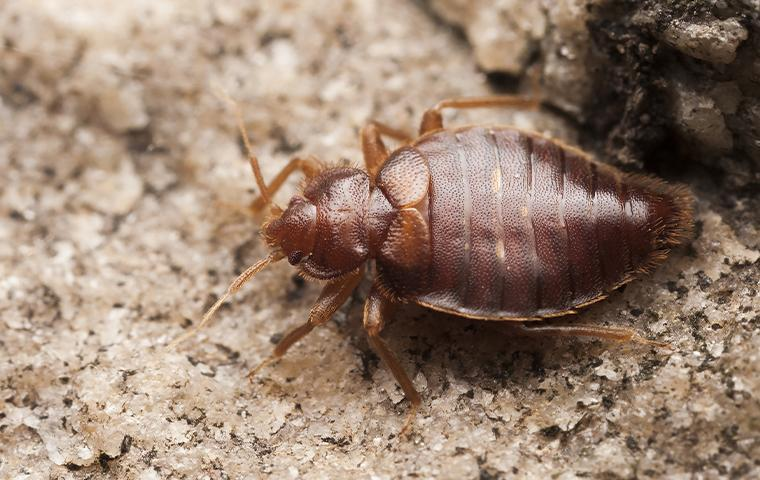 bed bug on dirt