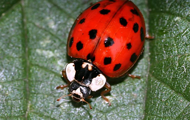 asian lady beetle resting on leaf
