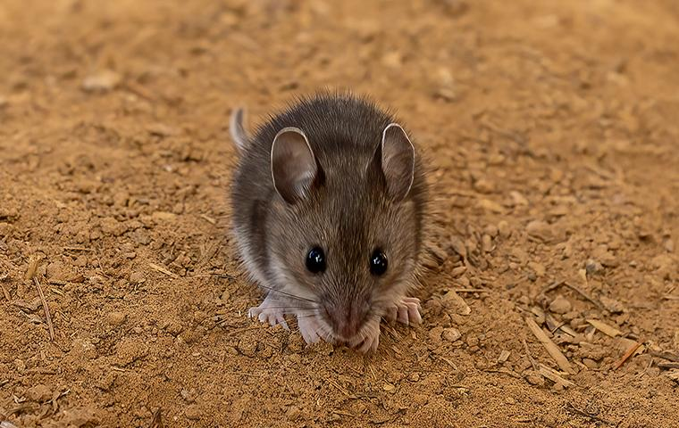 mouse in the dirt