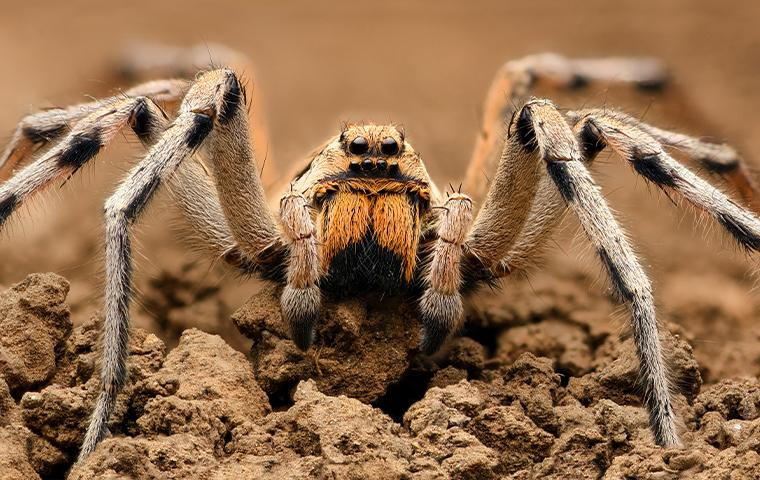 spider in the dirt