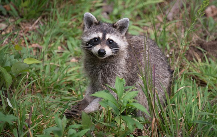 raccoon in the grass