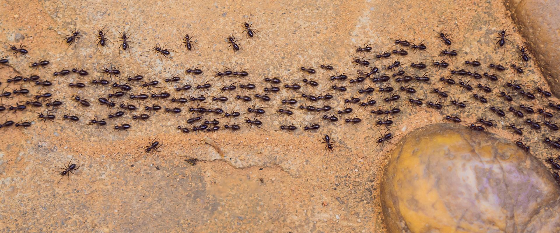 trail of ants on the dirt