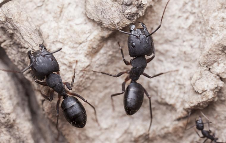 carpenter ants on a rock