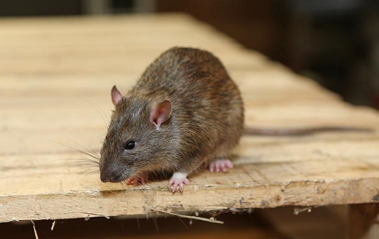 rat on wood table