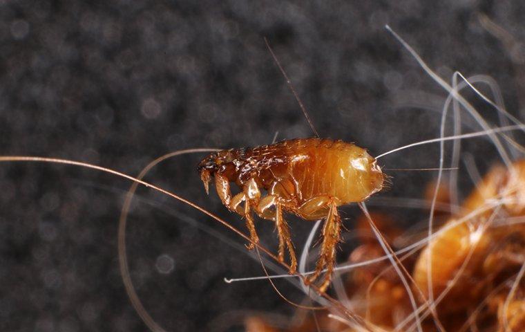 a cat flea in cat hair