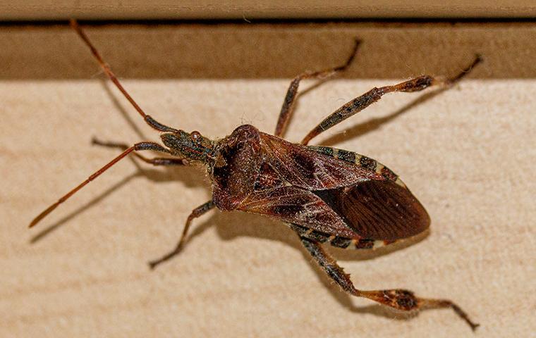 western conifer seed bug on window trim in home